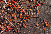 Ashberry tree — Stock Photo