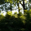 Stock Photo: Fern in the forest