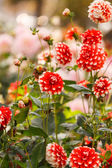 Flor de dalia — Foto de Stock