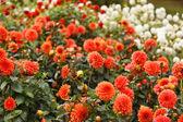 Flor de dalia colorido — Foto de Stock