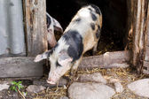 Pigs in a sty — Stock Photo