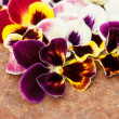 Different pansies — Photo
