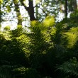 Fern in the forest — Stock Photo #35256383