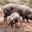 Pigs on the farm — Stock Photo