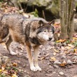 Stock Photo: Grey Wolf