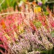 Stock Photo: Heather flowers
