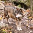 Grey Wolf — Stock Photo #35694099