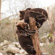 Stock Photo: Brown Bears Outdoors