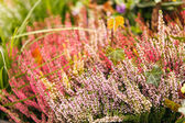Heather flowers — Stock Photo