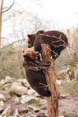 Brown Bears Outdoors — Stock Photo