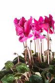 Pink cyclamen in a flower pot — Stock Photo