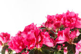 Azalea flower — Stock Photo