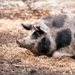 Pigs on the farm — Foto Stock