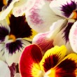 Different pansies — Stock Photo