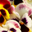 Different pansies — Foto Stock