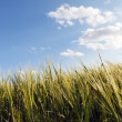 Green wheat on a field — Stockfoto