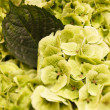 Green hydrangea — Stock Photo #36814913