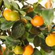 Mandarins on the branch — Stock Photo