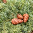 Christmas pine cone on green branches — Stock Photo #37079199