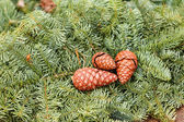 Christmas pine cone on green branches — Stockfoto