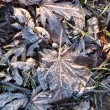 Stock Photo: Frozen leaves