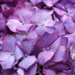 Purple hydrangea — Stock Photo #37672875