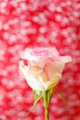 Piękną różę — Zdjęcie stockowe