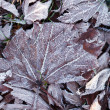 Frozen leaves — Stock Photo #37879831