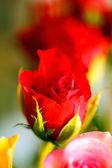 Pěkný růže — Stock fotografie
