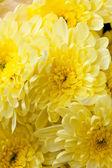 Chrysanthemum Flowers — Stockfoto