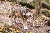 Szary wilk — Zdjęcie stockowe