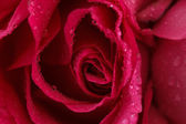 Pink rose closeup — Stockfoto