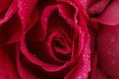 Růžová růže detail — Stock fotografie