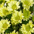 Stock Photo: Chrysanthemum Flowers