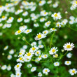 Field of daisy — Foto de Stock