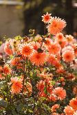 カラフルなダリアの花 — ストック写真
