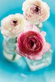 Ranunculus — Foto Stock