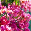 Stock Photo: Bougainvillein Egypt