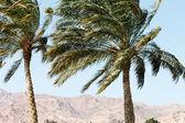 Palm in Dahab — Stock Photo
