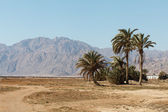 Palm in desert — Stock Photo