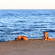 Stock Photo: Dogs on the beach