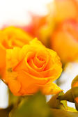 Nice orange roses — Stock Photo
