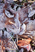 Bevroren bladeren — Stockfoto