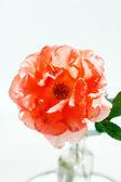 Rose in the vase — Stock Photo
