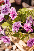 Petunia in the pot — Stock Photo