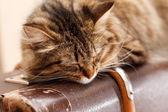 Evde kedi — Stok fotoğraf