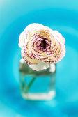 Ranunculus — Stockfoto