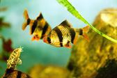 Aquarium fish - barbus tetrazona — Foto Stock