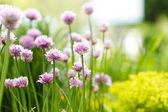 Mor çiçekler — Stok fotoğraf