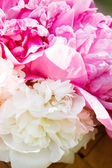 Peonies background — Stock Photo